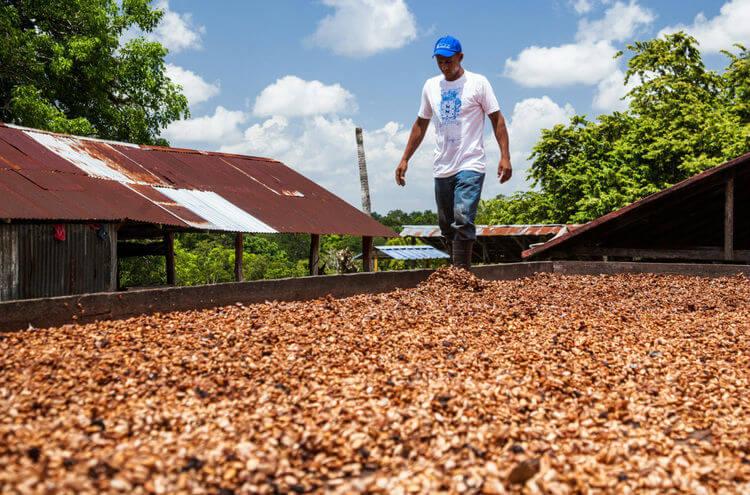 cacao prieto criollo dominican republic cacao