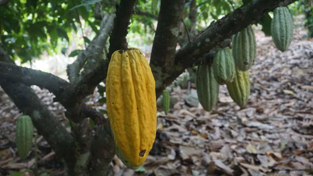 chocolate tree colombia huila 16008