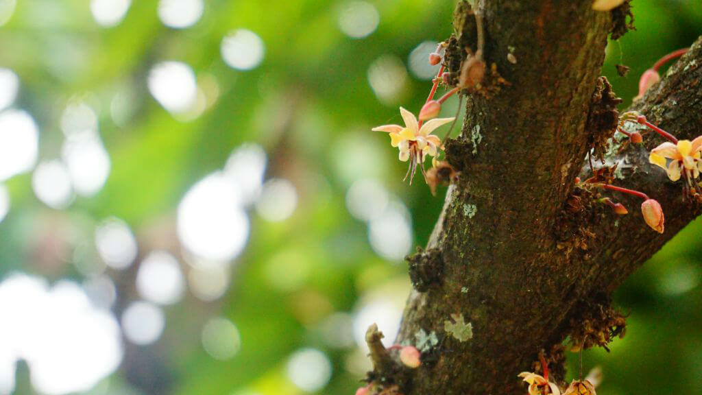 chocolate tree colombia huila 16011