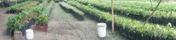 chocolate tree colombia huila 16025